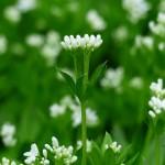 woodruff flower