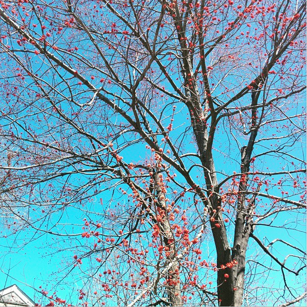 blooming pink spring tree under a blue sky